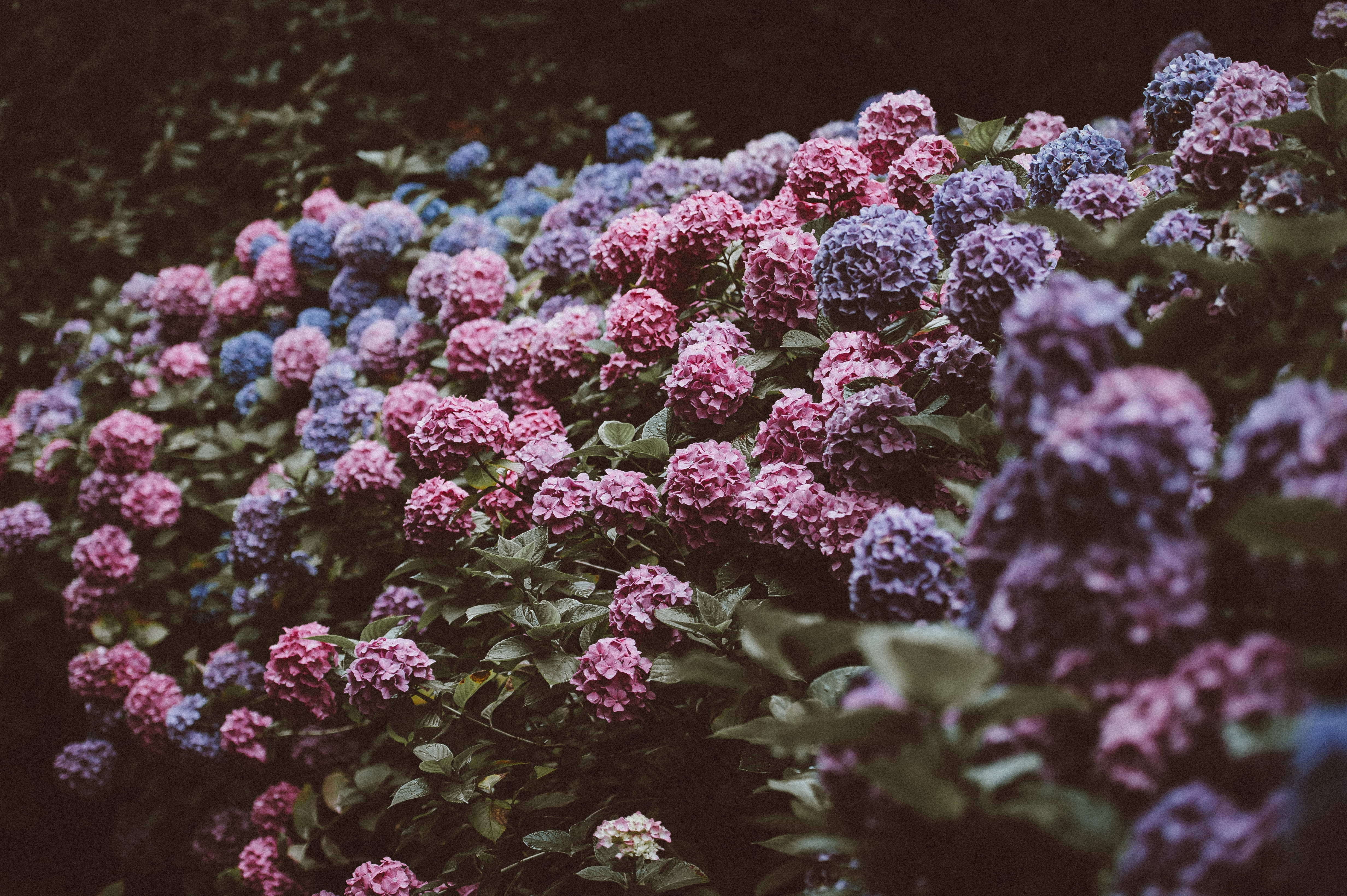 Pink, blue, and purple hydrangea bush