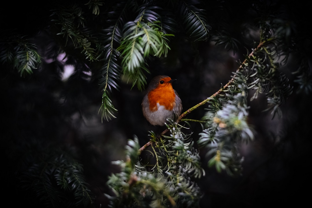 Robin nestled in evergreen branches