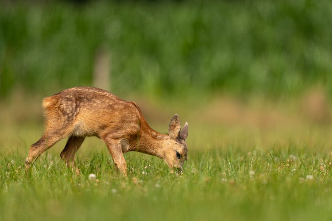 Fawn eating grass in a field